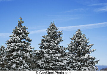 Three pine trees under snow over bright blue sky
