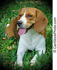 beagle dog - a happy beagle dog