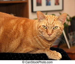 Orange Tabby - Very large dark orange tabby in livingroom...