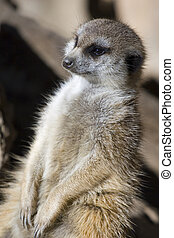 Meercat Enjoying Sun - A Meercat sitting and soaking up the...