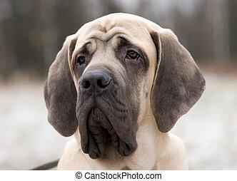 Mastiff - The 6 month puppy of mastiff dog