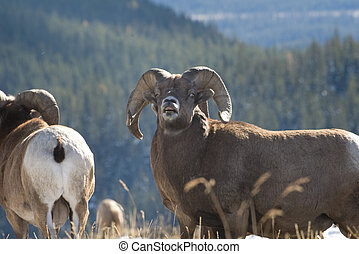 trophy bighorn ram - This ram is trophy size and proud of it