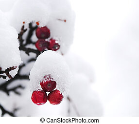 Winter berries - Red winter berries on a tree covered with...