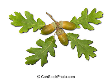 Acorns and oak leaves on white background.