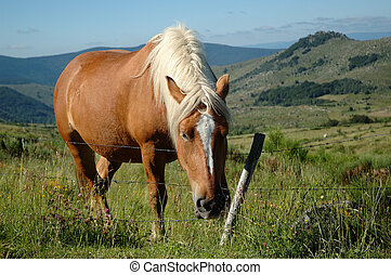 Grazing draught horse - Comtois draught horse with brown...