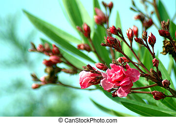 Oleander - Beautiful red oleander with a aqua-colored...