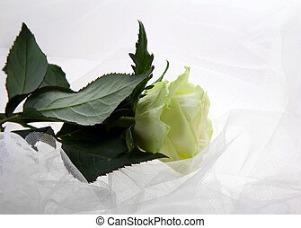 Greenish rose on a white fabric
