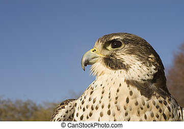 Peregrine falcon - Merlin crossbreed - a closeup of a...