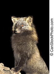 Arctic fox standing on log, isolated on black