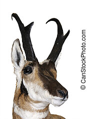 Closeup North American Pronghorn - North American Pronghorn...