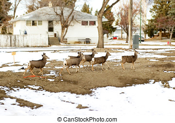 City deer - Herd of city deer passing thru a dirt field.