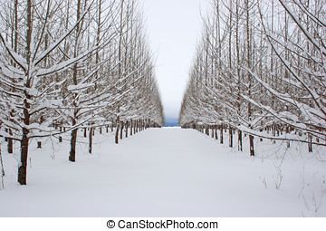 Rows of trees in a snow covered field