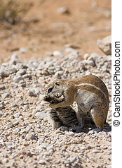 Squirrel Grooming - Ground squirrel grooming its tail in the...