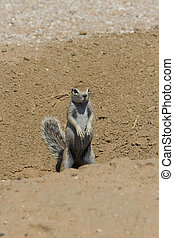 Squirrel Scout - Ground squirrel scanning for danger by its...
