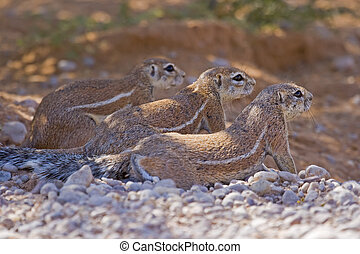 Threes company - Three ground squirrels resting together in...