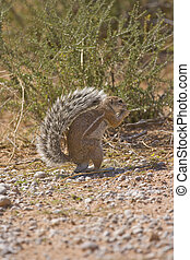 Cape Ground Squirrel eating foraged food