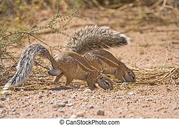 Foraging ground squirrels - Two Cape Ground Squirrels...