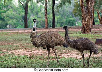 two emus - two australian emus walk along through the scrub