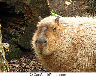 Capybara - Largest rodent in the world.