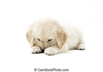 shy puppy - a lovely shy golden retriever puppy