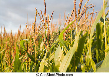 cornfield - a beautifull corn field