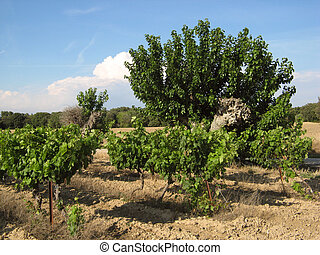 Provence vineyards field - vineyards field near...