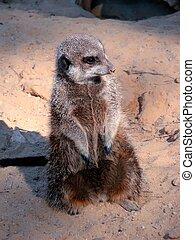 suricate - an image of a suricate watching around