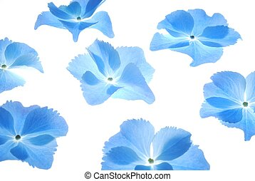 blue hortensia - Close-up of soft pastel blue hortensia...