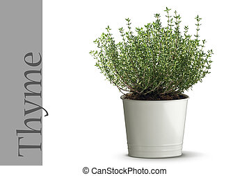 Thyme plant in vase isolated on white background