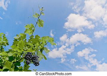winogrona, przeciw, niebo