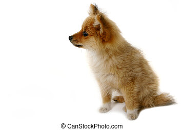 Curious Puppy on White - Curious Pomeranian Looking at...