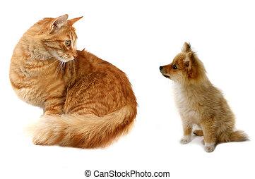 Cat VS Dog - Grown Cat Looking at Tiny Pomeranian Puppy...