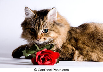 Young cat with a rose for valentine\\\'s day.