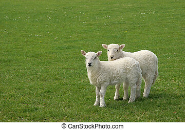 Twin Lambs - Two white lambs standing together in a field in...