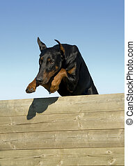 jumping doberman - jumping purebred doberman pinsher in a...