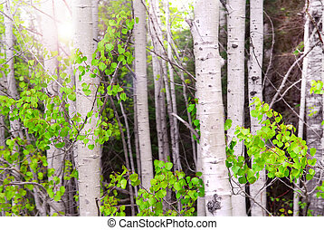 Aspen grove - Natural background of aspen tree trunks in a...