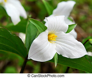 White Trillium blooming in woodlands Ontario provincial...