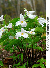 White Trillium blooming in woodlands, Ontario provincial...