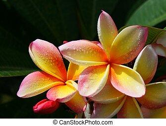 Tricolour Frangipanis - Tricolour frangipanis in full bloom...