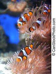 Nemo Fish - The clown fish also known as Nemo feeding on a...