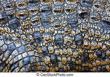 Saltwater Crocodile Skin - Close up of Saltwater Crocodile...