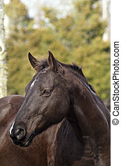 Million Dollar Baby - Profile shot of Dark Brown Gelding
