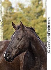 Million Dollar Baby - Profile shot of Dark Brown Gelding