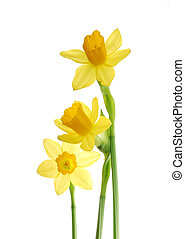 yellow daffodils - Bunch of yellow spring daffodils against...
