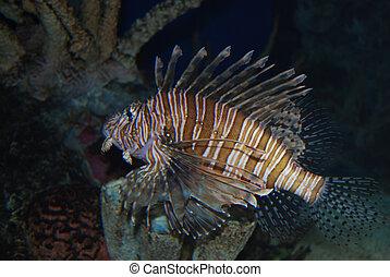 Lionfish - lionfish swimming underwater in aqauarium