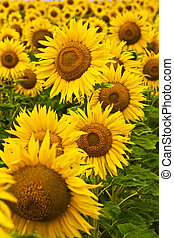 sunflower - meadow of yellow sunflower background,...