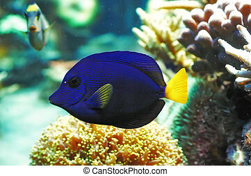 tropical fish - blue gaudy fish with some corals