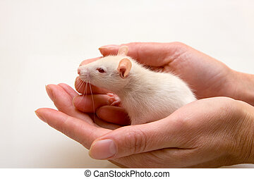 Yang rat in hands - Young rat in hands of the person
