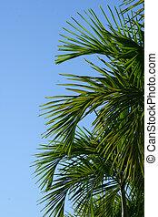 palm trees - Palm trees agaisnt a blue sky
