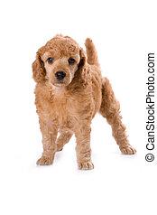 Poodle Medium puppy